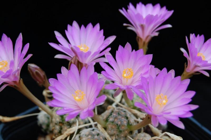 Mammillaria theresae Theres15