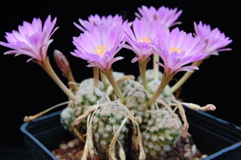 Mammillaria theresae Theres16
