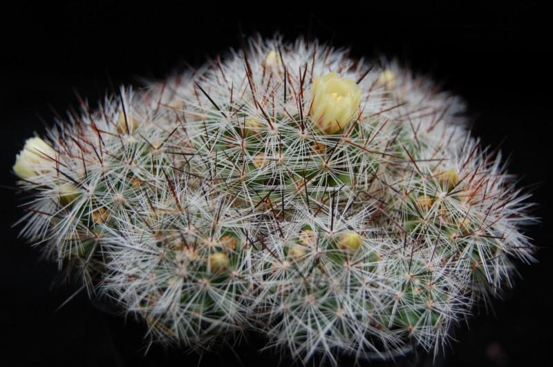 Mammillaria vetula Vetula10