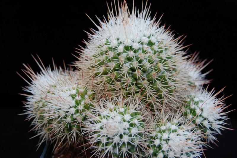 Mammillaria voburnensis Voburn12