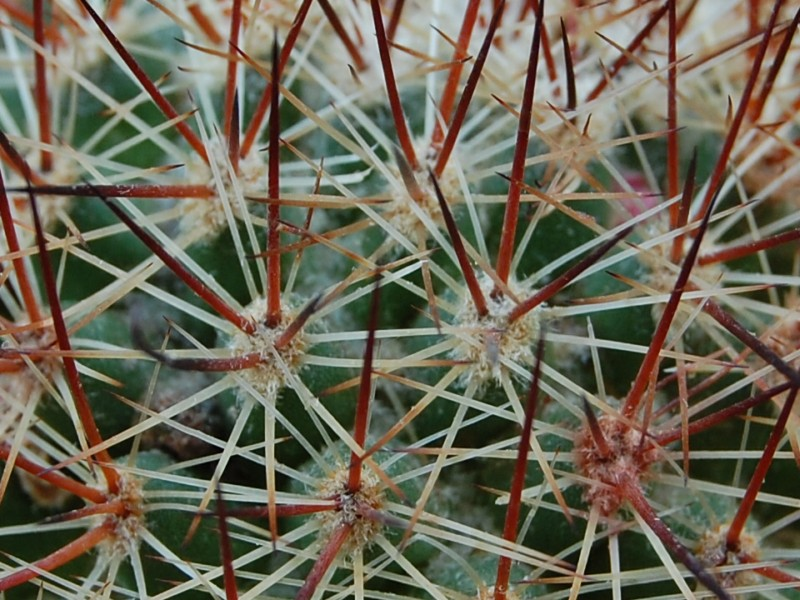 Mammillaria xaltianguensis Xaltia14