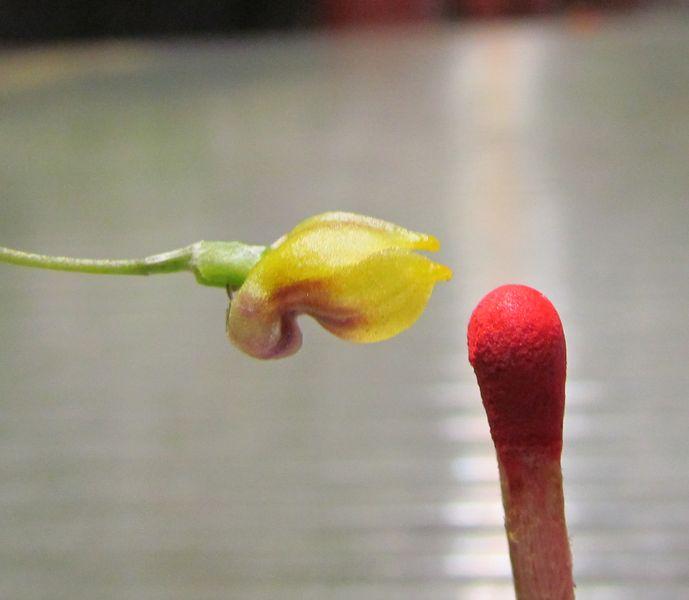 Buccella molossus ( ex. Masdevallia molossus ) 7feuil10