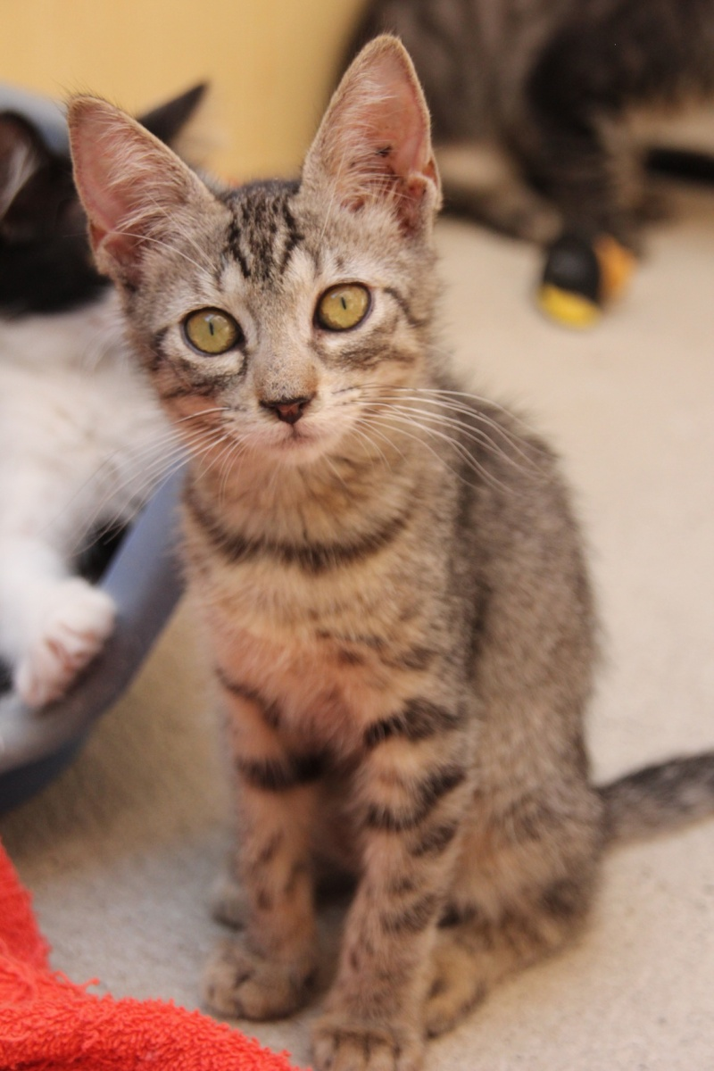 Chatons a adopter Chipie10
