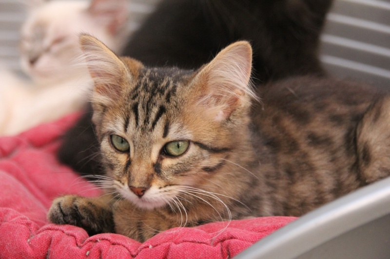 Chatons a adopter Iberia10