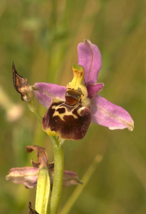 Le dernier Ophrys [elatior] Ophrys10