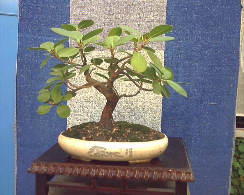 Piccola storia di una talea di ficus rotundifolia. 200710