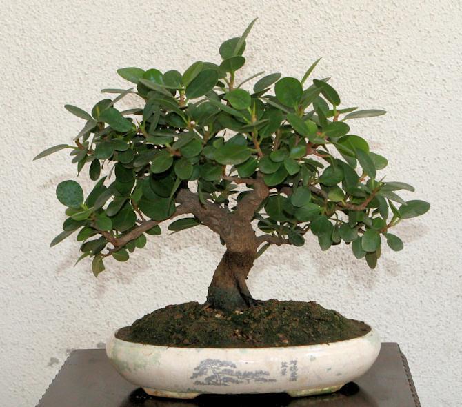 Piccola storia di una talea di ficus rotundifolia. 2008-210