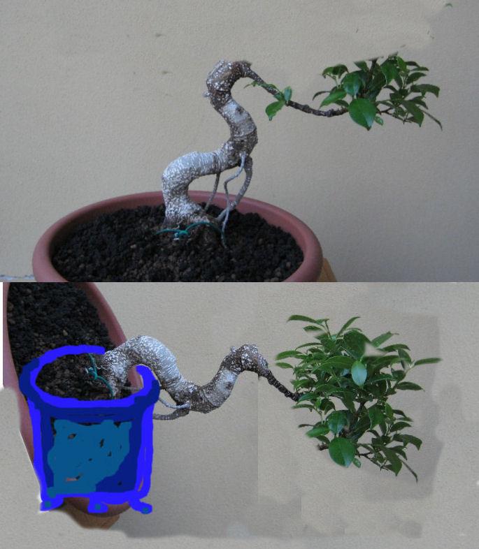 Ficus Retusa....lo abbasso ?? - Pagina 2 Ficus_10