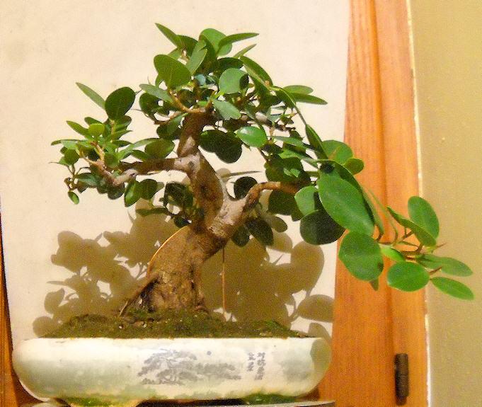 Piccola storia di una talea di ficus rotundifolia. Immagi13