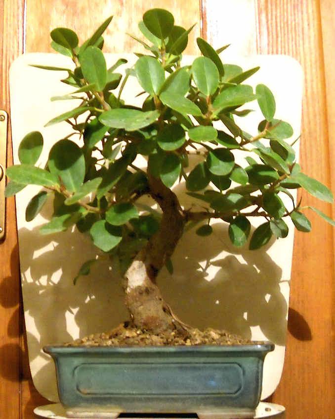 Piccola storia di una talea di ficus rotundifolia. Immagi14