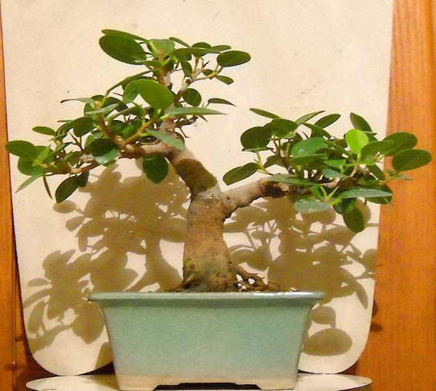 Piccola storia di una talea di ficus rotundifolia. Immagi15
