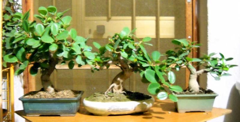 Piccola storia di una talea di ficus rotundifolia. Immagi16