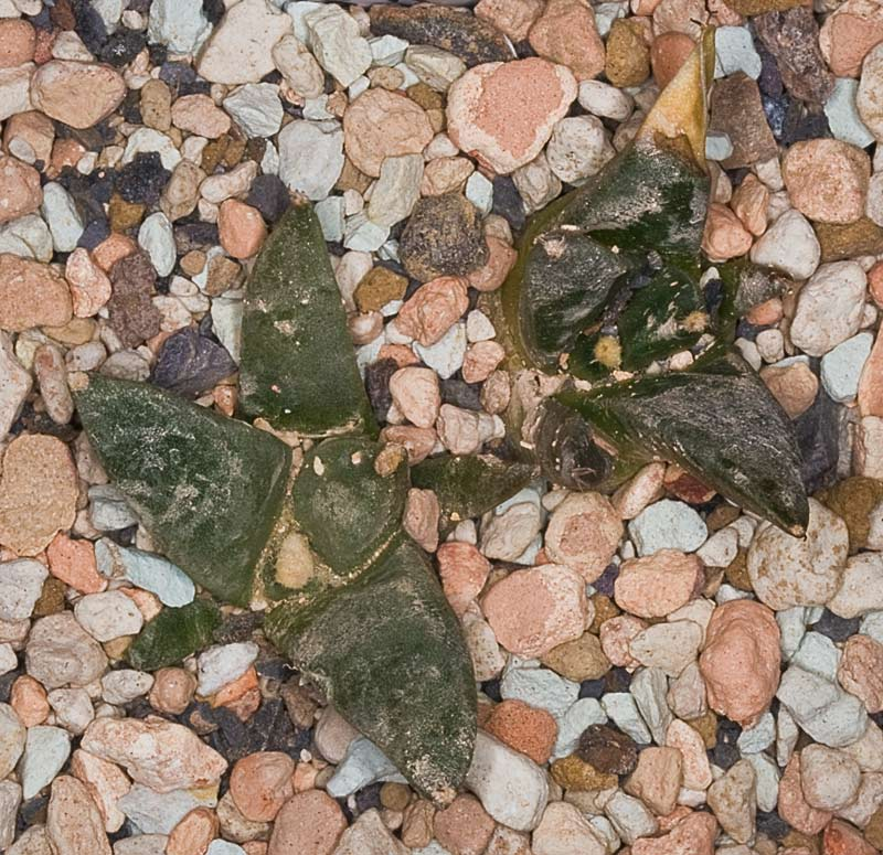 Ariocarpusrettung... - Seite 4 Arioca19