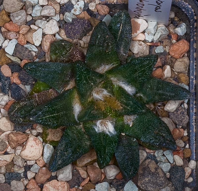 Ariocarpus scapharostrus Arioca20