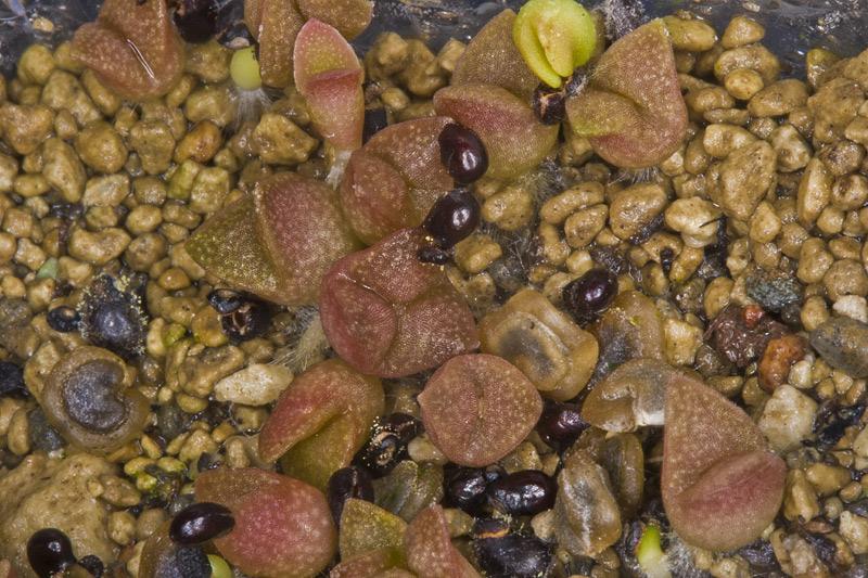 Suche Samen eines einfach zu pflegendes Kaktus Aussaa15