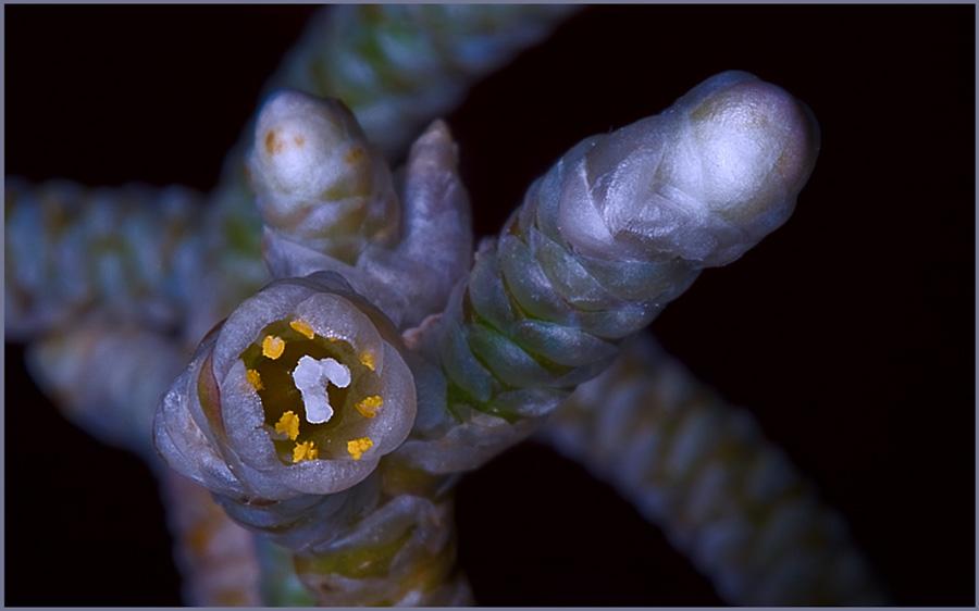 Avonia albissima Avonia11