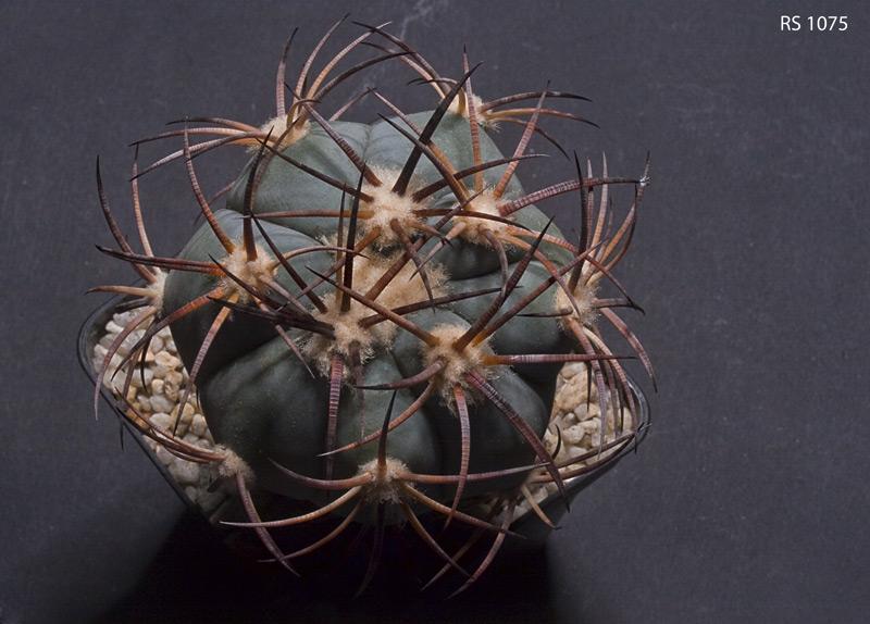 Echinocactus horizonthalonius im Bilde Echino18