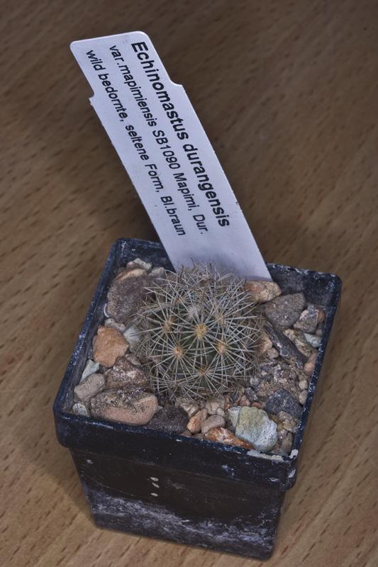 Echinomastus Echino19