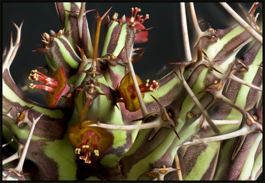 Sukkulentenblüten  Euphor11