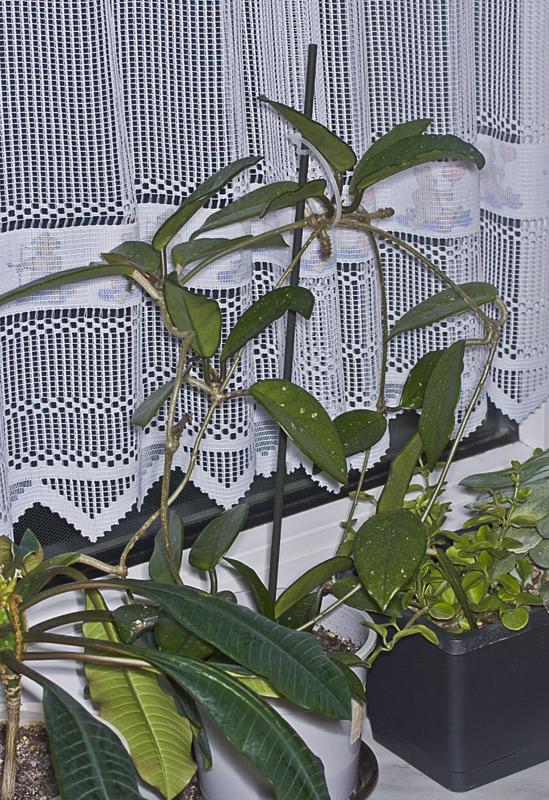 Hoya carnosa Hoya-110