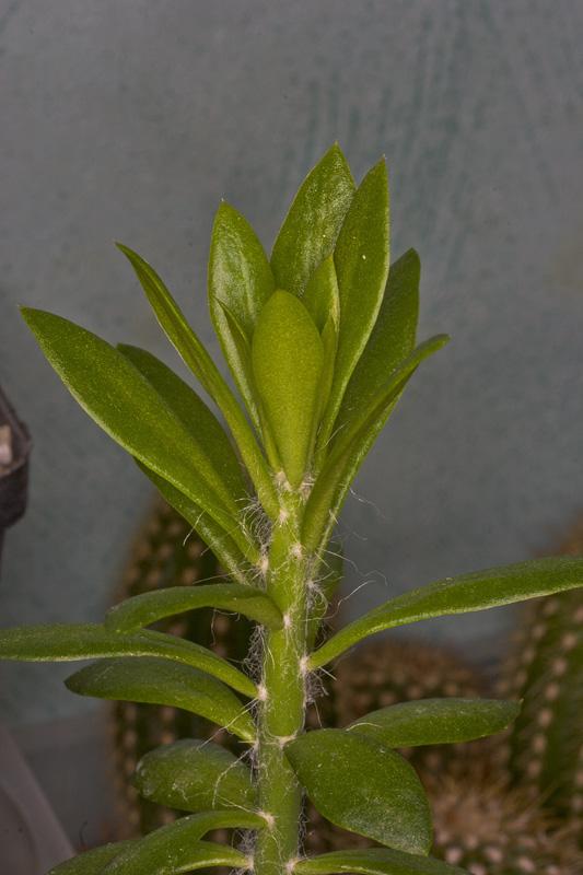 Schläft Pereskiopsis ? Peresk10