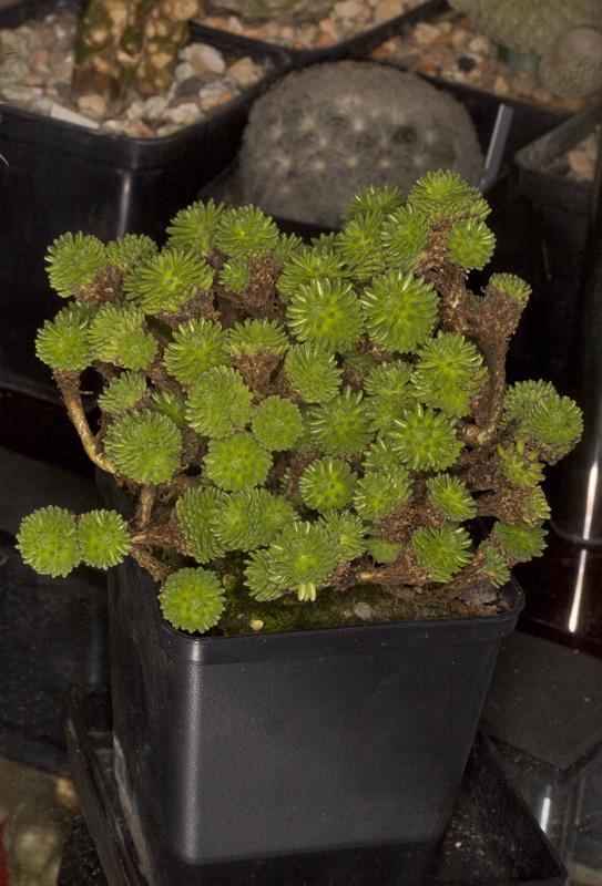 Seedum multiceps Seedum10