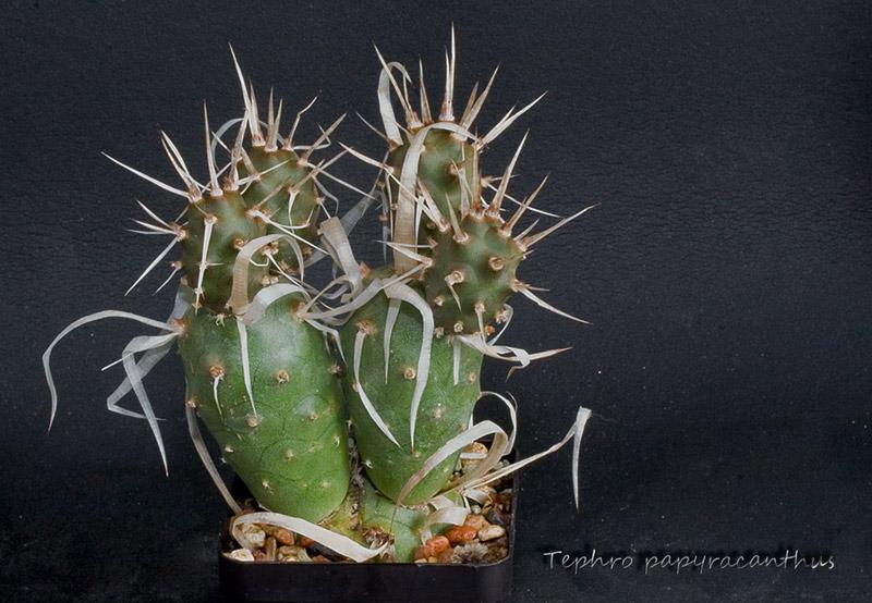 tephrocactus papyracanthus Tephro11