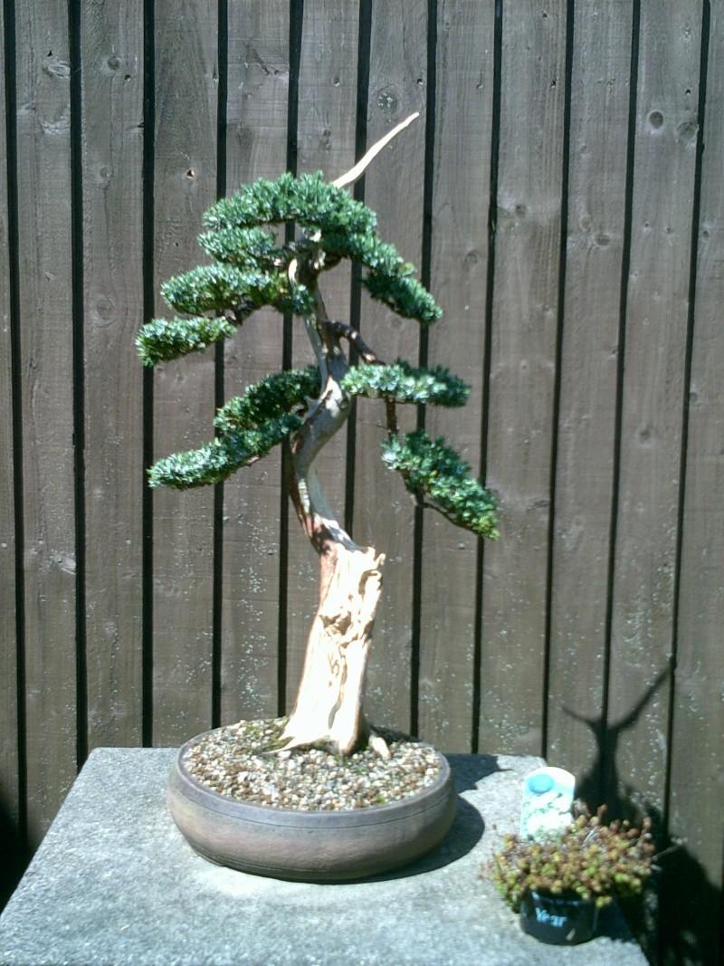 stolen trees Junipe20