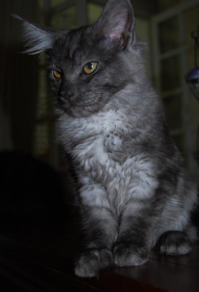 presentation des chats et de Osiris et cassiopee Fan-fa12