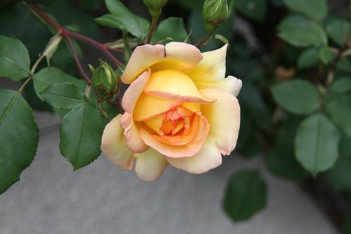 tous ces rosiers que l'on aime - floraisons - Page 2 Img_9411