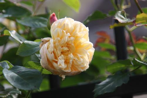 tous ces rosiers que l'on aime - floraisons - Page 2 Img_9412