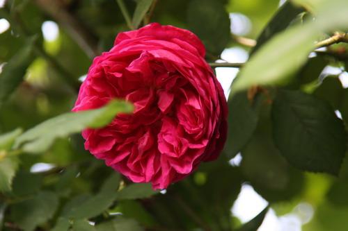 tous ces rosiers que l'on aime - floraisons - Page 2 Img_9413