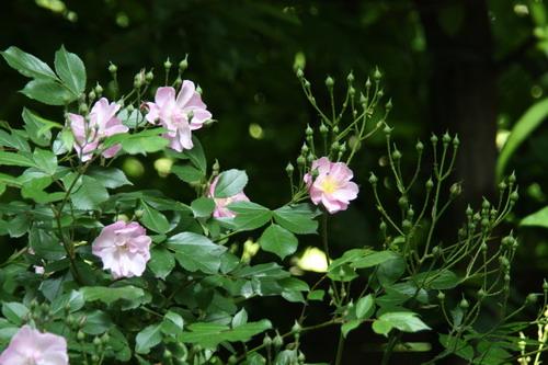 tous ces rosiers que l'on aime - floraisons - Page 2 Img_9414