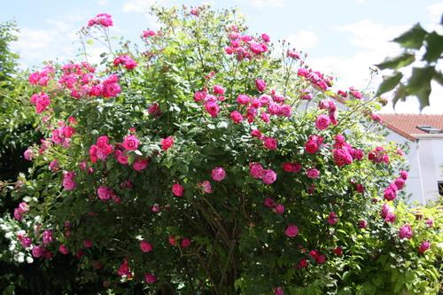 tous ces rosiers que l'on aime - floraisons - Page 2 Img_9510