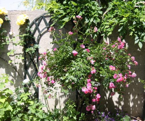 tous ces rosiers que l'on aime - floraisons - Page 2 Img_9511