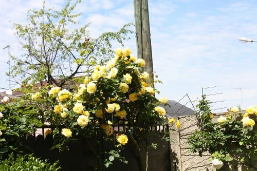 tous ces rosiers que l'on aime - floraisons - Page 2 Img_9512