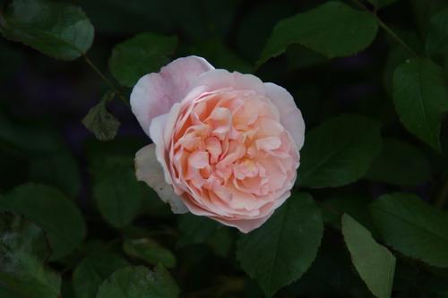 tous ces rosiers que l'on aime - floraisons - Page 2 Img_9514