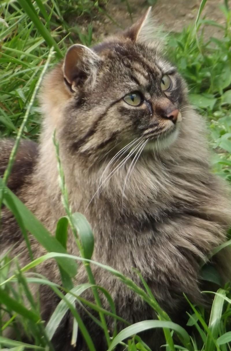 DUCHESSE, belle angora tigrée, estimée née en 2009 Dscf0315