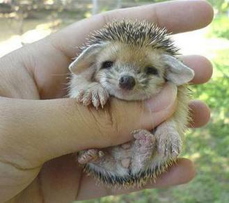 Baby Hedgehogs Little10