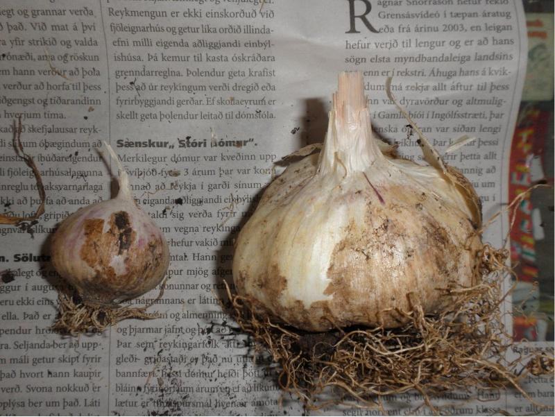 Autumn in Iceland Garlic10