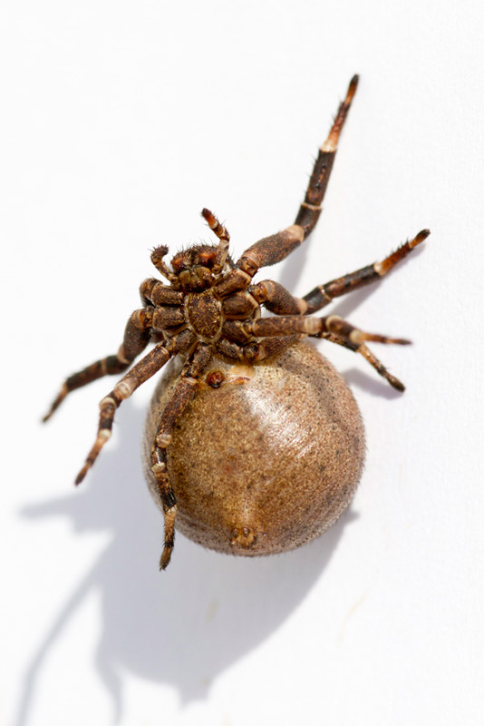 araignée ventrue _mg_2110