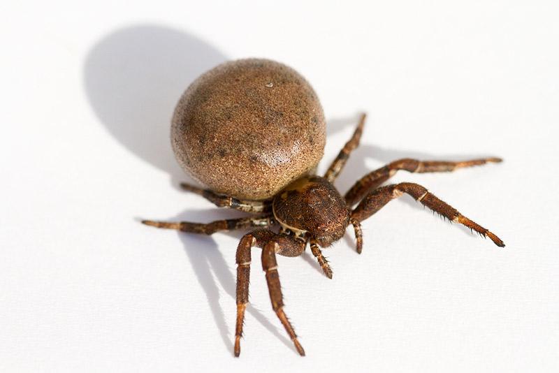 araignée ventrue _mg_2111