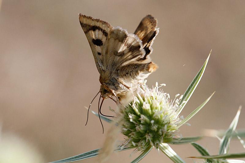 papillon de jour ou de nuit? _mg_2114