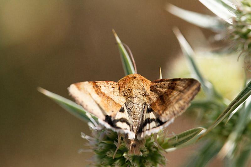 papillon de jour ou de nuit? _mg_2115