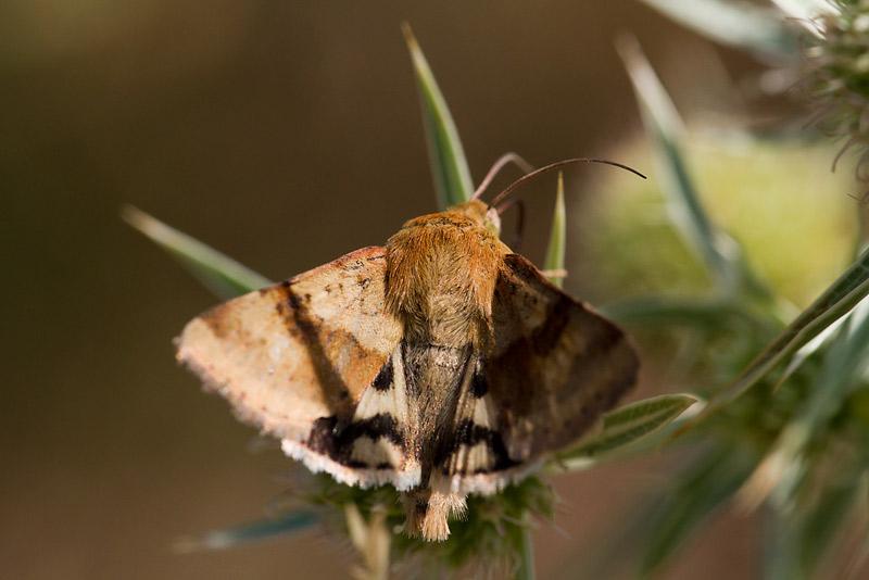 papillon de jour ou de nuit? _mg_2116