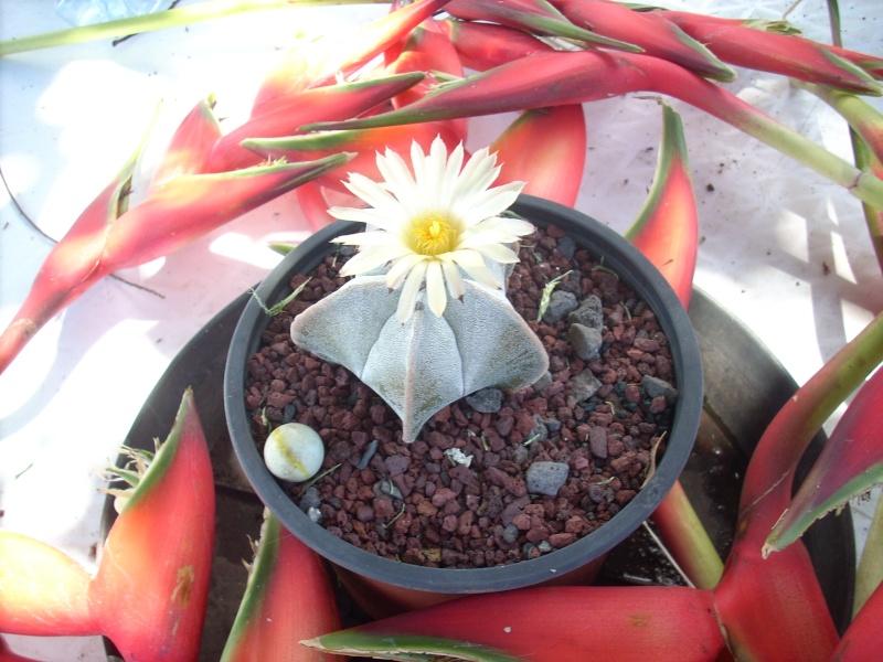 Mes floraisons de Cactées! Astrop11