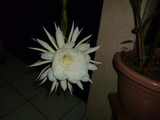 Mes floraisons de Cactées! Seleni11