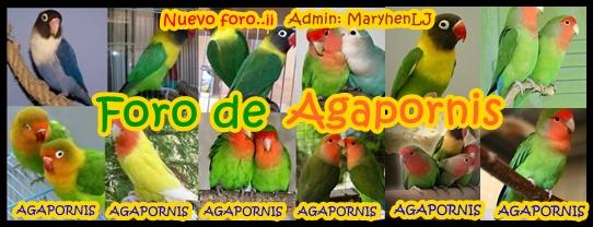 foro de Agapornis