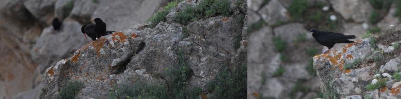 Suivi du Crave à bec rouge (Pyrrhocorax pyrrhocorax) en Bretagne : Repro cap sizun 2010 Ty_dev10