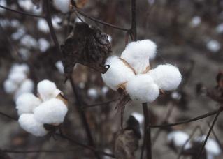 Βαμβάκι (Cotton) Cotton10